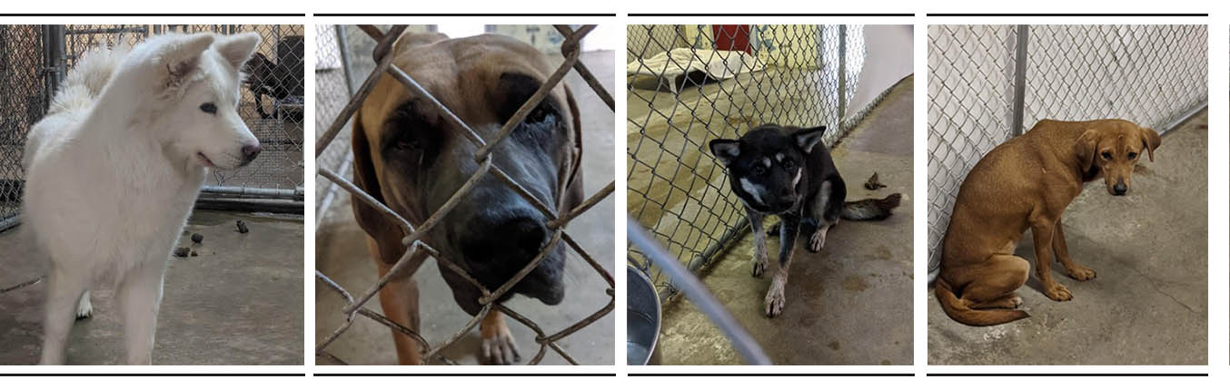 Dogs from Korean Meat Farm safe at Animal Care Sanctuary